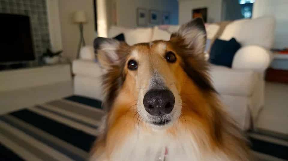 כלב מזן קולי עם מבט מופתע אילוסטרציה של שאלה