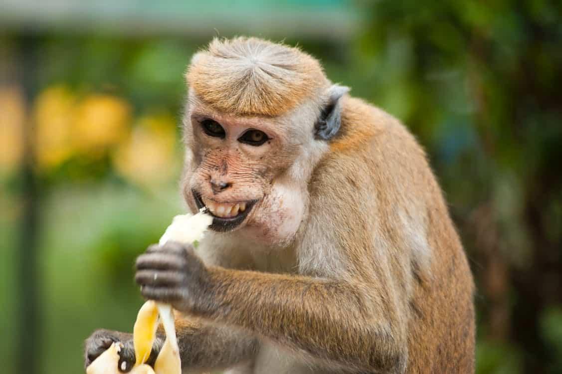 קוף אוכל בננה
